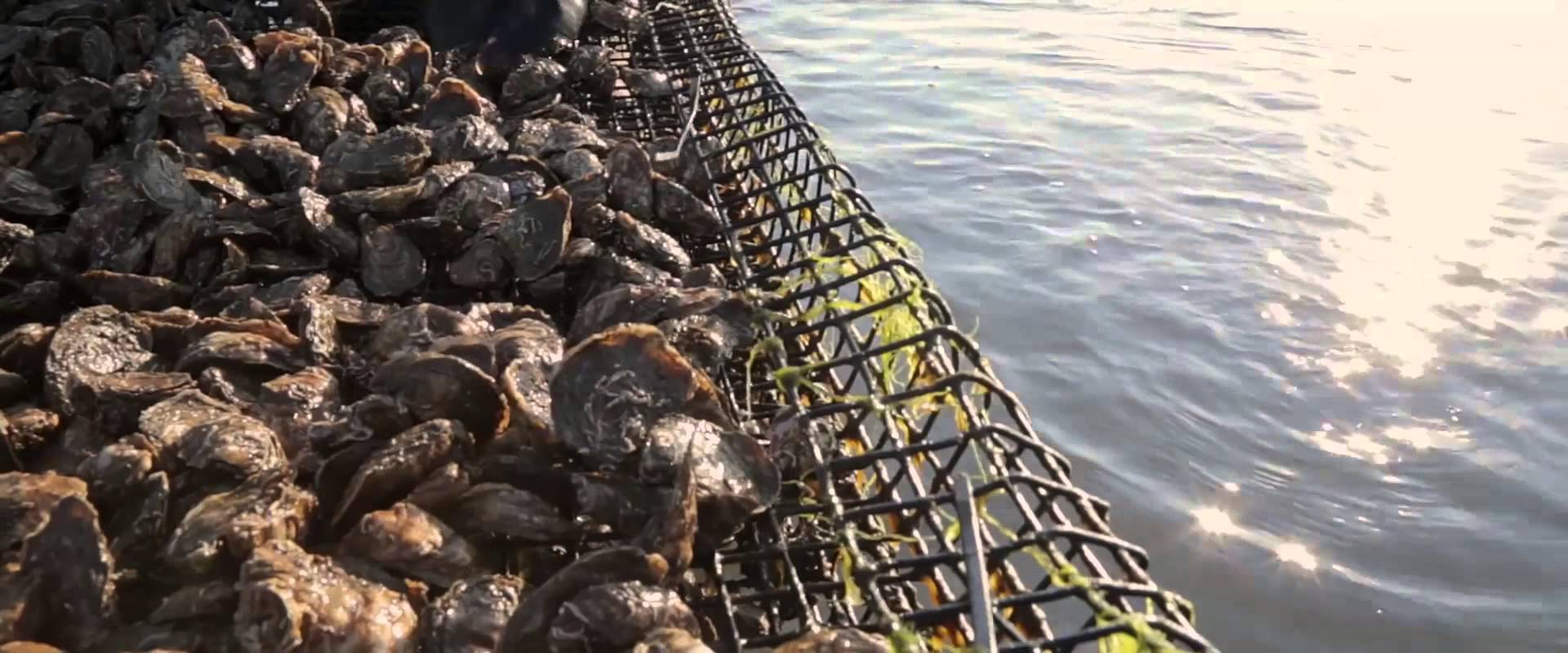 Chincoteague Shellfish Farms A Partnership For Sustainable Seafood Part 1